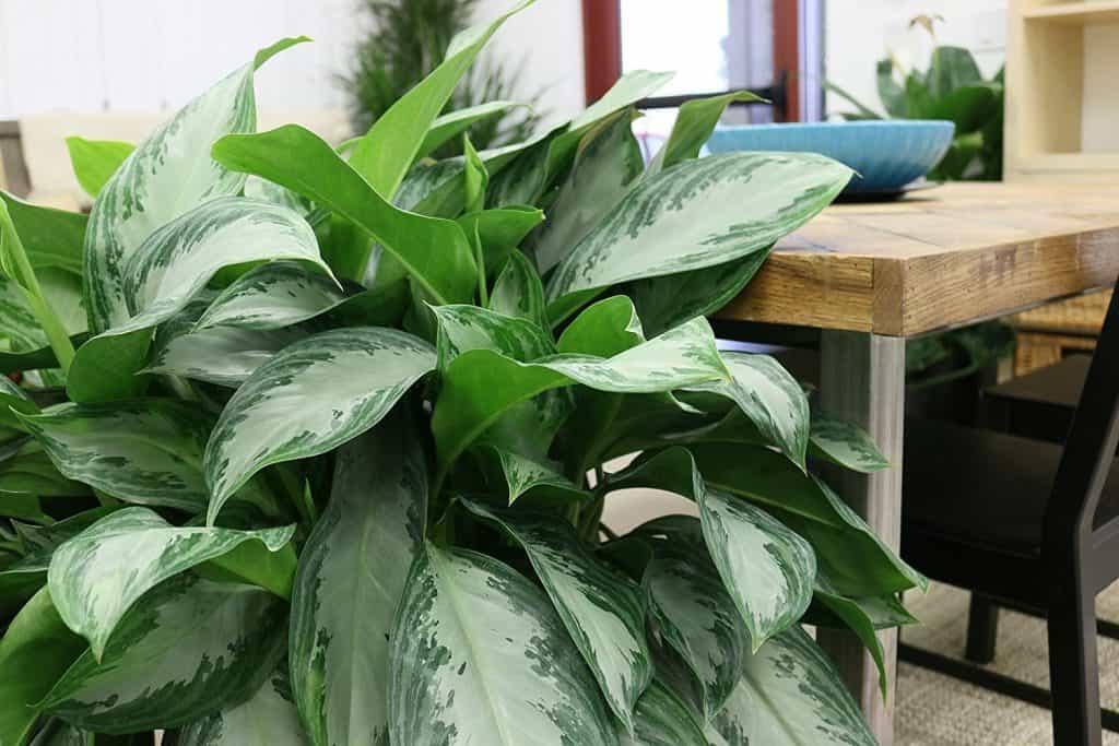 Aglaonema-plante-Décorations-amazon-deco-maison-fleure-verte-interieur-tropicale-plante-appartement-depolluantes-entetien-gamm-conseils
