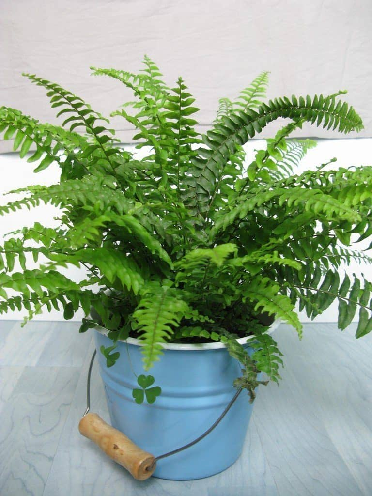 Boston Fern-plante-Décorations-amazon-deco-maison-fleure-verte-interieur-tropicale-plante-appartement-depolluantes-entetien-gamm-conseils