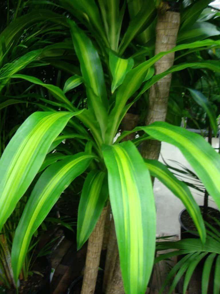 Dracaena-plante-Décorations-amazon-deco-maison-fleure-verte-interieur-tropicale-plante-appartement-depolluantes-entetien-gamm-conseils