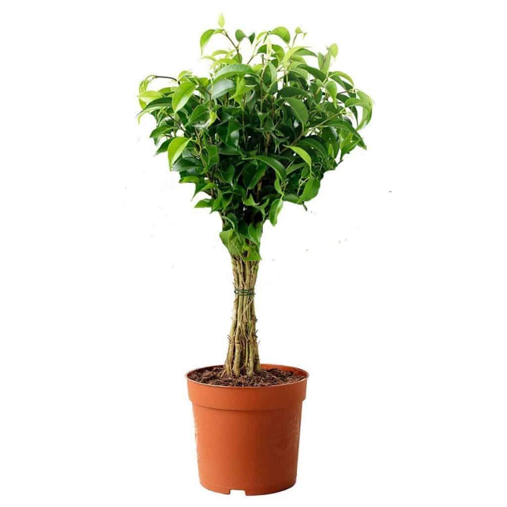 Figue pleurante-plante-Décorations-amazon-deco-maison-fleure-verte-interieur-tropicale-plante-appartement-depolluantes-entetien-gamm-conseils