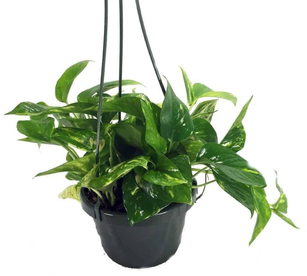 Le lierre du diable-plante-Décorations-amazon-deco-maison-fleure-verte-interieur-tropicale-plante-appartement-depolluantes-entetien-gamm-conseils