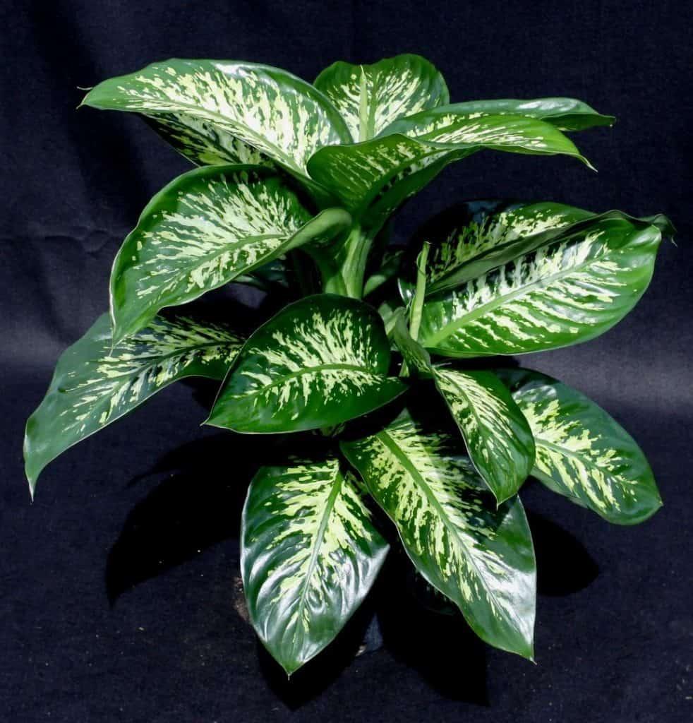 Dumb Cane-plante-Décorations-amazon-deco-maison-fleure-verte-interieur-tropicale-plante-appartement-depolluantes-entetien-gamm-conseils