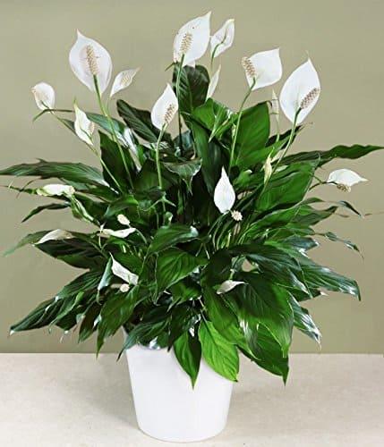 Lily de la paix-plante-Décorations-amazon-deco-maison-fleure-verte-interieur-tropicale-plante-appartement-depolluantes-entetien-gamm-conseils