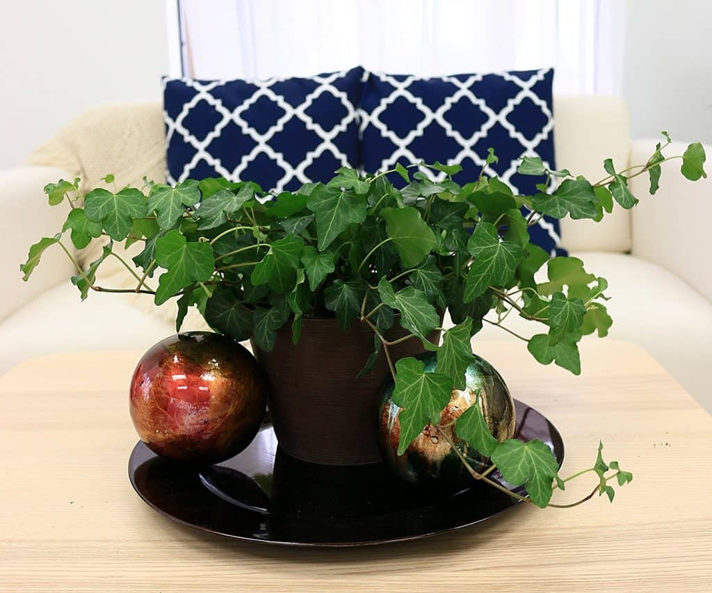 lierre anglais-plante-Décorations-amazon-deco-maison-fleure-verte-interieur-tropicale-plante-appartement-depolluantes-entetien-gamm-conseils