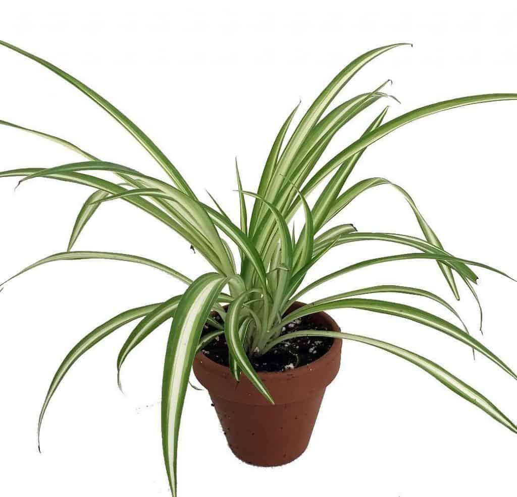 plante araignée-plante-Décorations-amazon-deco-maison-fleure-verte-interieur-tropicale-plante-appartement-depolluantes-entetien-gamm-conseils