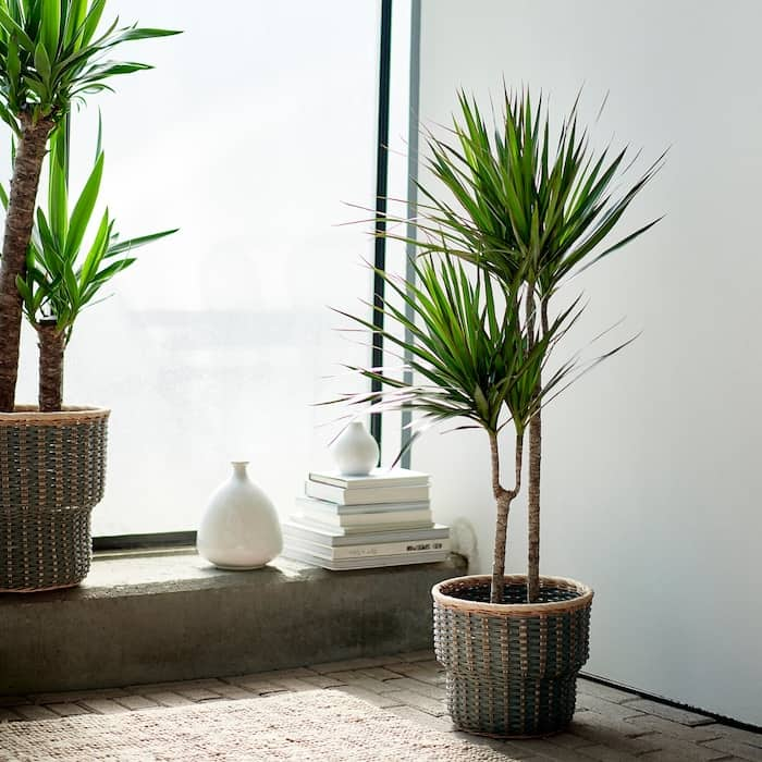 Dracaena plante